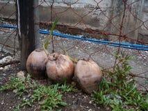 кокосы пускать ростии Стоковое Изображение RF