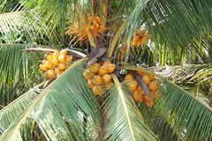 кокосы Стоковые Изображения RF