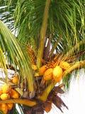 кокосы Стоковое Изображение