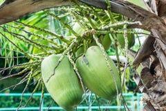 Кокос, кокосовая пальма Стоковое Фото