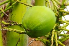 кокос младенца стоковое изображение