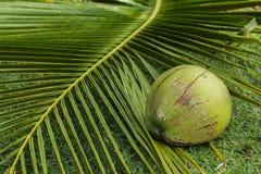 Кокос на лист кокоса Стоковые Фотографии RF