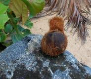 Кокос на троповом пляже Стоковые Изображения RF