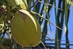 Кокос от Бахи неполовозрелой в дереве стоковые фото