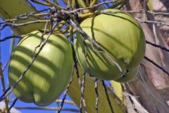 Кокос от Бахи неполовозрелой в дереве стоковое изображение