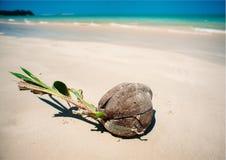 Кокос пускать ростии на пляже Стоковые Фотографии RF
