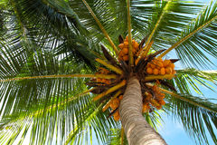 кокос смотря пальму вверх Стоковые Фото