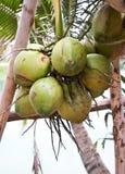кокос Стоковая Фотография
