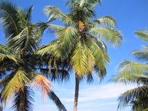 кокос collection3 Стоковое фото RF