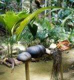 кокос de mer стоковое изображение rf