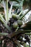 кокос de mer Стоковые Изображения RF
