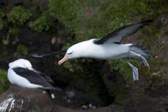 колебаться альбатроса черный browed стоковое фото rf