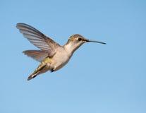 колебаться Рубин-throated колибри женский стоковые изображения