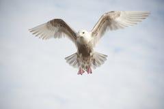 колебаясь чайка стоковая фотография rf