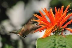 колебаясь hummingbird Стоковые Фото