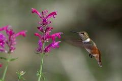 колебаясь hummingbird Стоковые Изображения RF