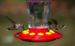 колебаясь hummingbirds Стоковое фото RF