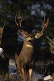 колейность осляка оленей самеца оленя Стоковые Фотографии RF
