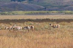 Колейность табуна антилопы Pronghorn осенью Стоковое фото RF