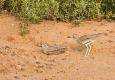 колени Сенегал толщиной Стоковая Фотография