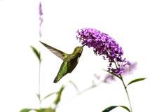 Колибри и фиолетовый цветок с белой предпосылкой Стоковое Изображение RF