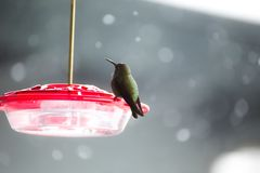 Колибри на фидере в зиме Стоковые Изображения RF