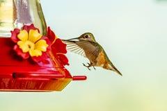 Колибри на фидере стоковые изображения rf