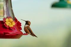 Колибри на фидере стоковая фотография rf