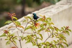 Колибри на Firebush стоковые изображения rf