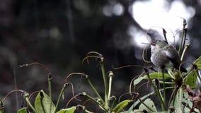 Колибри сидя на зеленом кусте на бурный день сток-видео