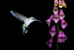 Колибри с цветками фиолетового foxglove Стоковые Изображения