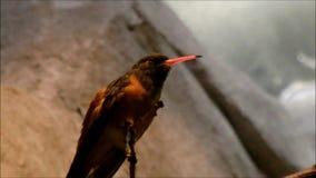 Колибри Amazilia сидя на ветви и выставках его язык видеоматериал