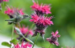Колибри gorging на цветке бальзама пчелы стоковые фотографии rf