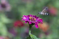 Колибри - stellatarum Macroglossum Стоковые Фото