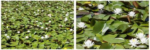 Коллаж белой воды цветения пусковых площадок лилии Стоковая Фотография RF
