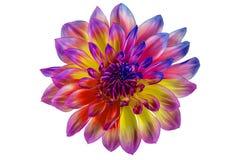 Коллаж, георгин цветка на белой предпосылке в изоляции стоковое изображение