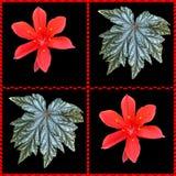 Коллаж красных листьев лилий и бегонии рождества Стоковые Изображения