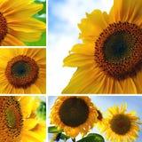 Коллаж солнцецветов стоковое фото