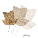 Коллаж с листьями серебряного клена Стоковое Изображение RF
