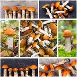 Коллаж фото осины грибов величает Стоковые Изображения