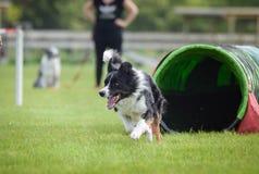 Коллиа границы собаки в tunel подвижности стоковые фотографии rf