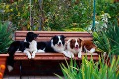 Коллиа границы 3 собак стоковые изображения rf