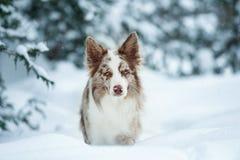 Коллиа границы с портретом зимы голубых глазов Стоковые Фотографии RF