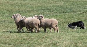 Коллиа границы табуня конец-вверх овец стоковое изображение rf