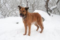 Коллиа любит коричневая собака табунить Стоковое фото RF