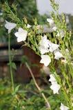 Колоколы сада Красивые цветки в саде стоковое изображение rf