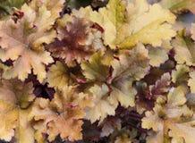 Колоколы Heuchera или коралла, завод с красивыми покрашенными листьями Стоковое Изображение RF