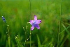 Колокольчик трава от нашего луга стоковые изображения rf
