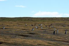 Колонии пингвина Magellanic на аренах Isla Магдалены Punta стоковое фото