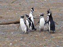 Колония вложенности пингвина Magellanic, magellanicus spheniscus, Isla Магдалены, Патагонии, Чили Стоковые Изображения RF